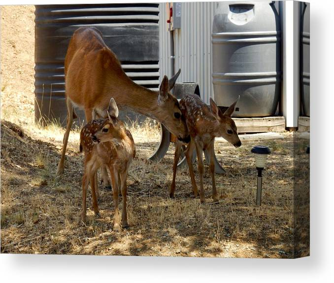 Deer Canvas Print featuring the photograph Mother And Two Fawn II by William McCoy