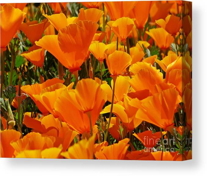 Poppies Canvas Print featuring the photograph Orange Glimmer by Sheryl Young
