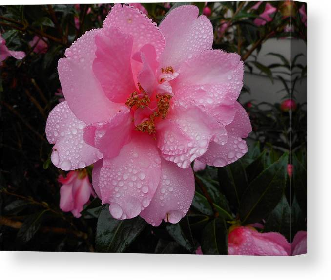 Pink Camellia Canvas Print featuring the photograph Pink Camelia With Droplets by Grant Hickey