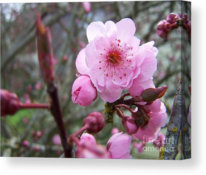 Plum Blossom Canvas Print featuring the photograph Plum Blossom by Vicki Maheu