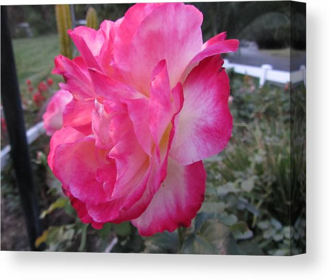 Flower Canvas Print featuring the photograph Rosey Rose by Dody Rogers