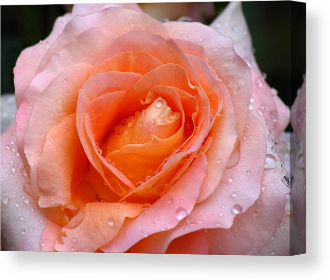 Rose Canvas Print featuring the photograph Rosy Rose by Juergen Roth