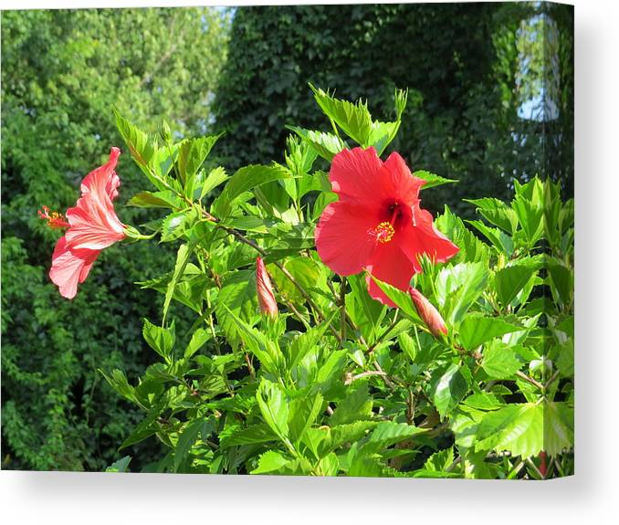 Ruby Red Hibiscus Canvas Print featuring the photograph Ruby Red Hibiscus by Elisabeth Ann