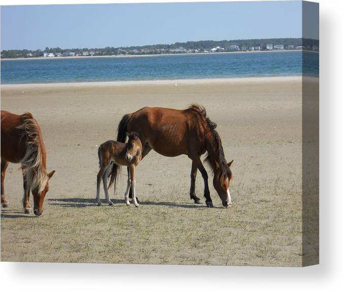 Wild Horses Canvas Print featuring the photograph Shackleford Banks Foal by Marty Fancy