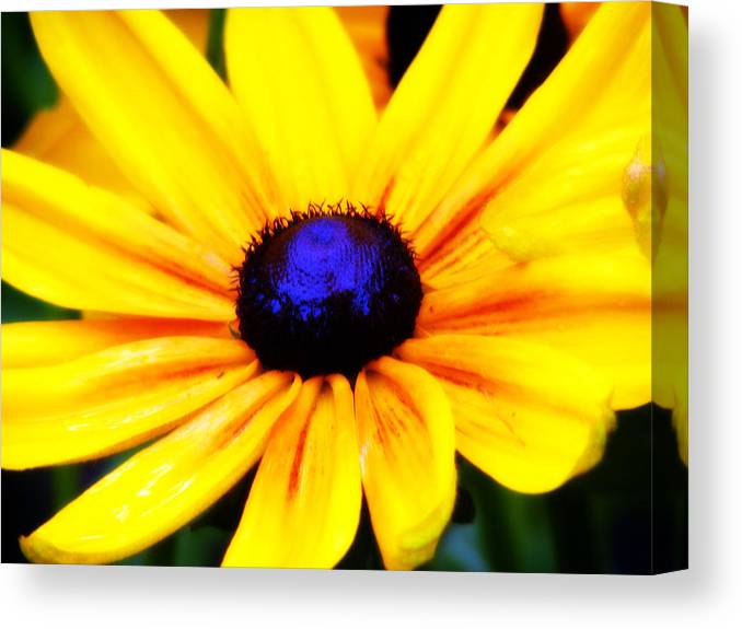 Rudebeckia Canvas Print featuring the photograph Susan And Her Black Eye by Becky Gargan