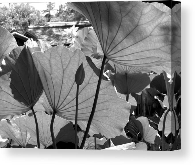 Lotus Canvas Print featuring the photograph The Lotus Pond by Larry Knipfing