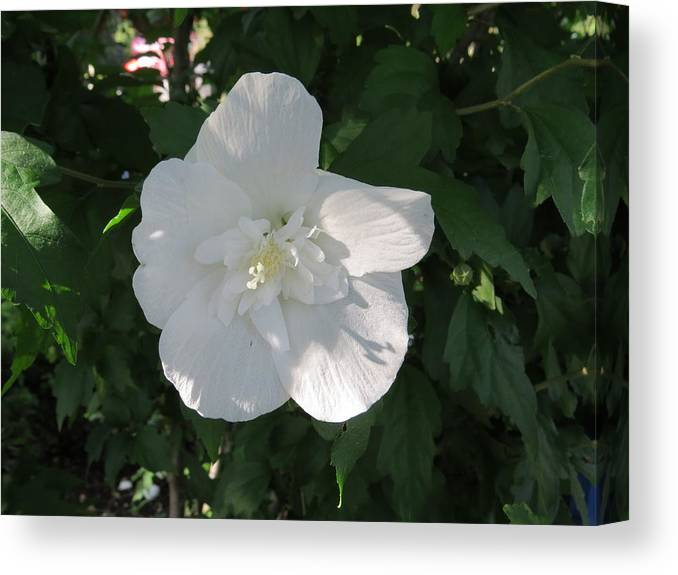 White And Pure Rose Of Sharon Canvas Print featuring the photograph White And Pure Rose Of Sharon by Elisabeth Ann