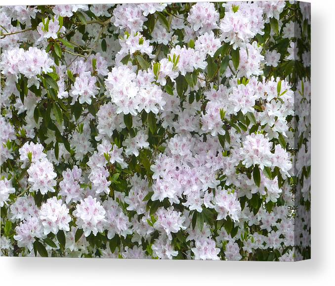 Rhododendron Canvas Print featuring the photograph White Rhododendron Blossoms by Rob Sherwood