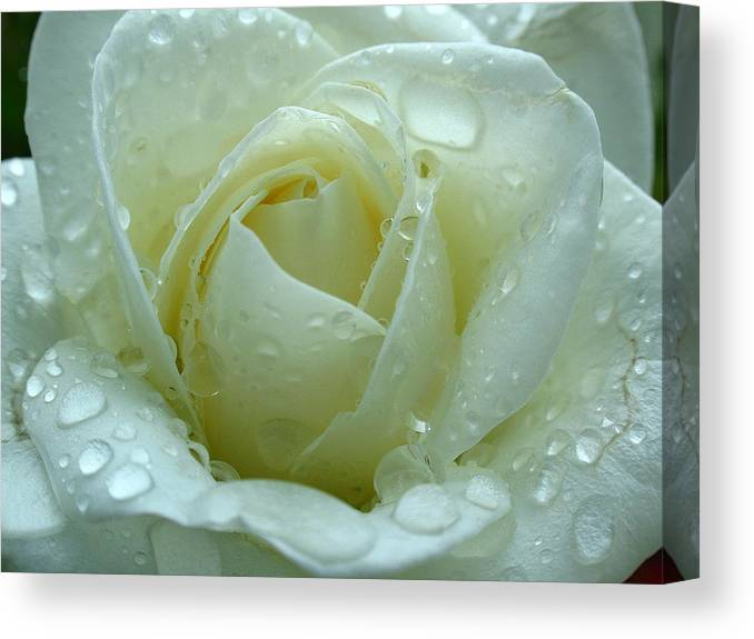 Rose Canvas Print featuring the photograph White Rose by Juergen Roth