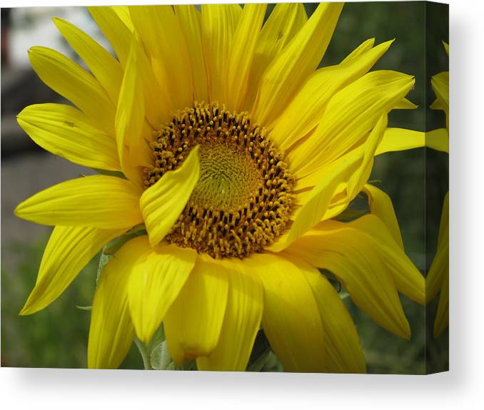 Sunflower Canvas Print featuring the photograph Windblown Sunflower Three by Barbara McDevitt