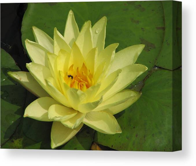 Lilly Canvas Print featuring the photograph yellow lilly I by Janine Connolly