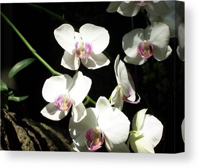 Canvas Print featuring the photograph Zoo Orchid by Lindsay Kurek