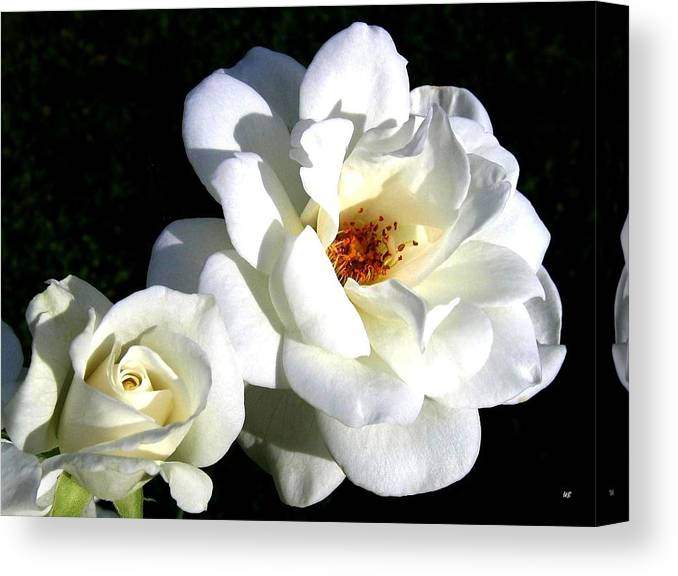 White Perfection Canvas Print featuring the photograph White Perfection by Will Borden