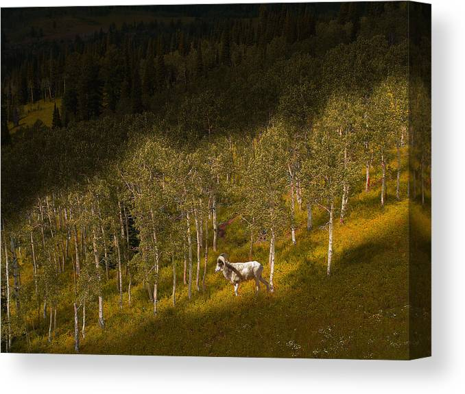 Mountain Sheep Canvas Print featuring the photograph 2438 by Peter Holme III