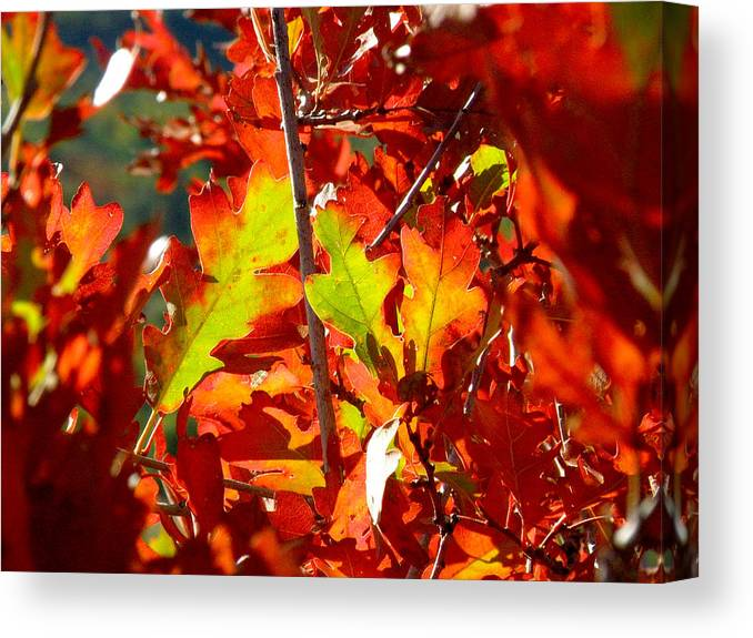 Fall Color Canvas Print featuring the photograph Autumn Oak Leaves by FeVa Fotos