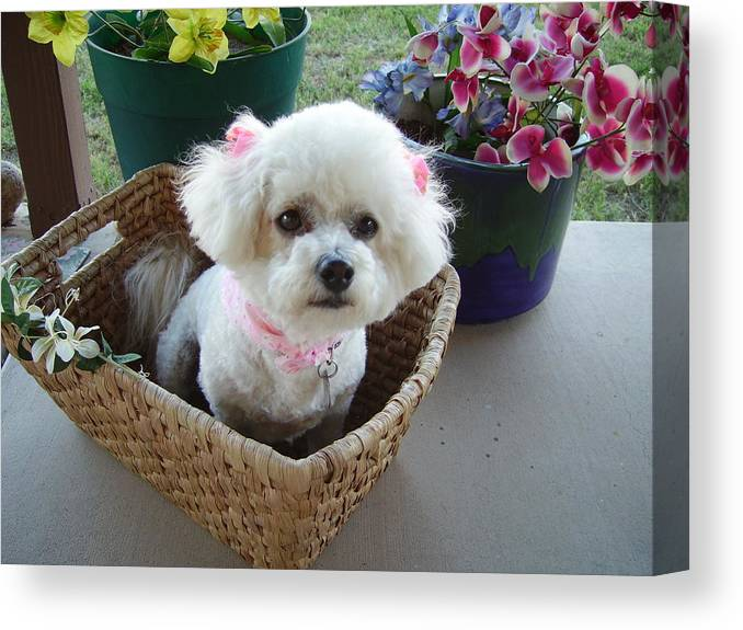 Bichon Frise Canvas Print featuring the photograph Bichon In A Basket by Fran Loando