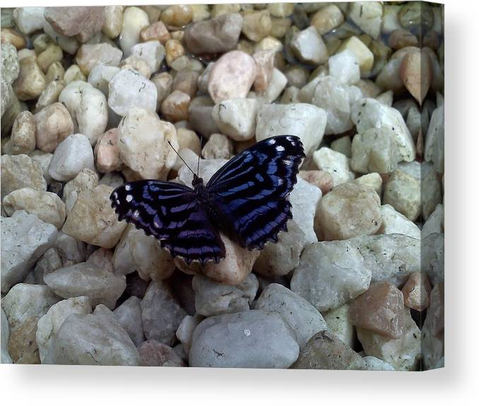 Blue-black-white Butterfly Canvas Print featuring the photograph Blue Butterfly On The Rocks by Chad and Stacey Hall