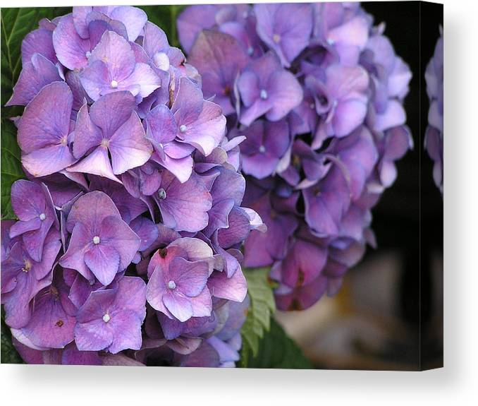 Flower Canvas Print featuring the photograph Blue Hydrangea by Andrea Drake