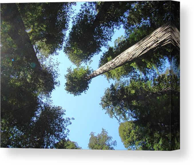 Redwood Canvas Print featuring the photograph California Redwood Trees Fine Art Prints Forest by Baslee Troutman