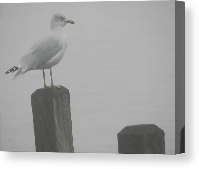 Nature Canvas Print featuring the photograph Camouflaged Seagull by Dennis Leatherman