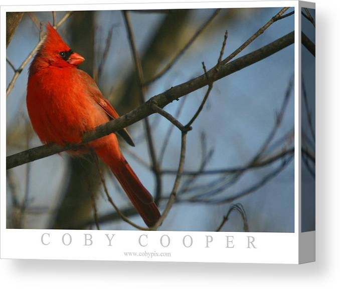 Red Bird Canvas Print featuring the photograph Cardinal by Coby Cooper