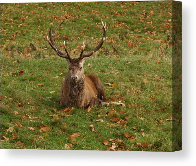 Red Deer Canvas Print featuring the photograph In A Bit Of A Rut by Steve Watson