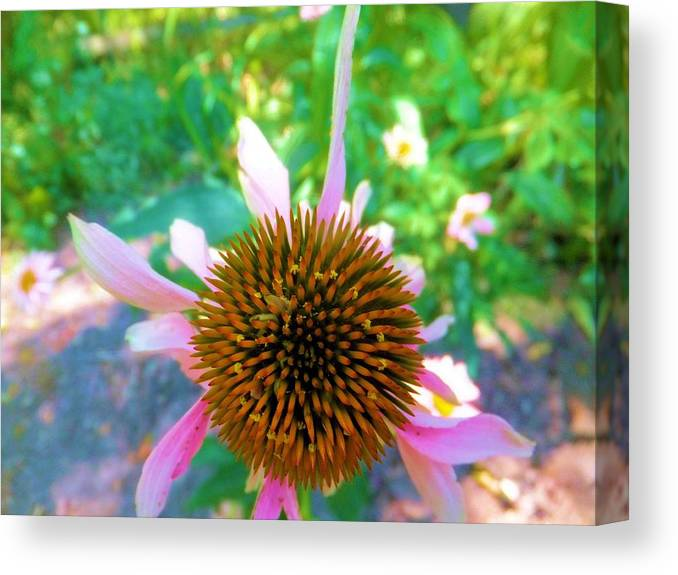 Euchinacia Canvas Print featuring the photograph In The Pink by Carolyn Repka