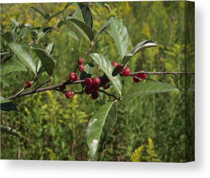 Red Canvas Print featuring the photograph Red Berries by Katherine Woods