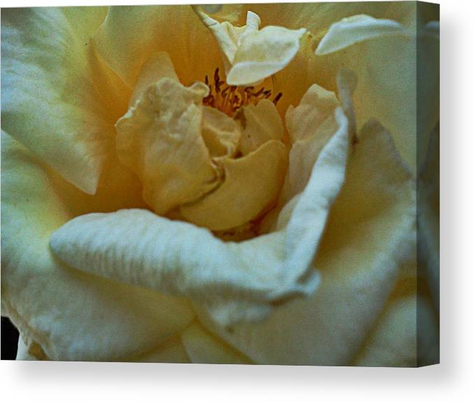 Rose Canvas Print featuring the photograph Soft Melody by Kevin D Davis