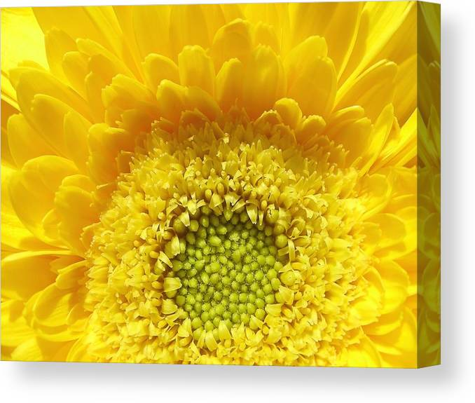 Botanical Canvas Print featuring the photograph Sunshine Yellow by Mary Lane