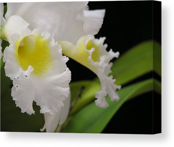 Flower Canvas Print featuring the photograph White Cattleya Close-up by Andrea Drake