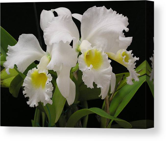 Flowers Canvas Print featuring the photograph White Cattleyas by Andrea Drake