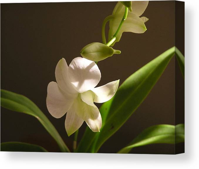 Flower Canvas Print featuring the photograph White Dendrobium 2 by Andrea Drake