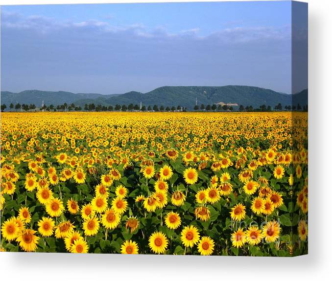 Sunflower Canvas Print featuring the photograph World Of Sunflowers by Amalia Suruceanu