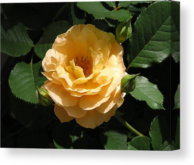 Flower Canvas Print featuring the photograph Yellow Rose by Andrea Drake