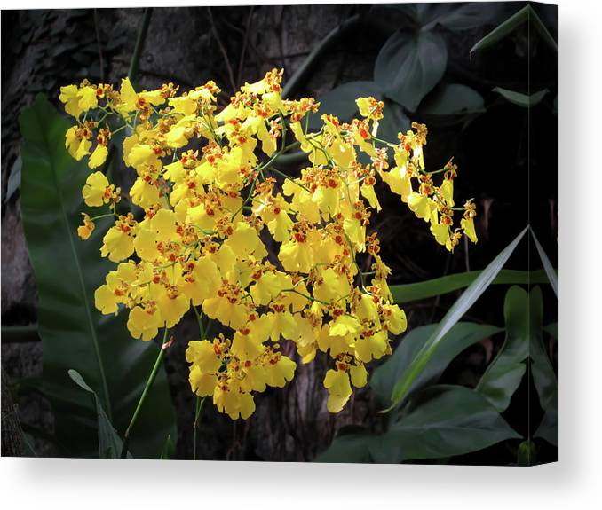 Orchid Canvas Print featuring the photograph Yellow Orchids by Zina Stromberg