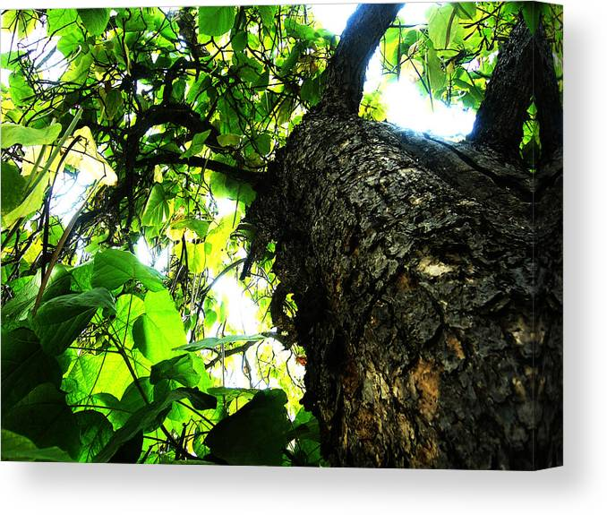 Trees Canvas Print featuring the painting Always Looking Up by Tim Tanis