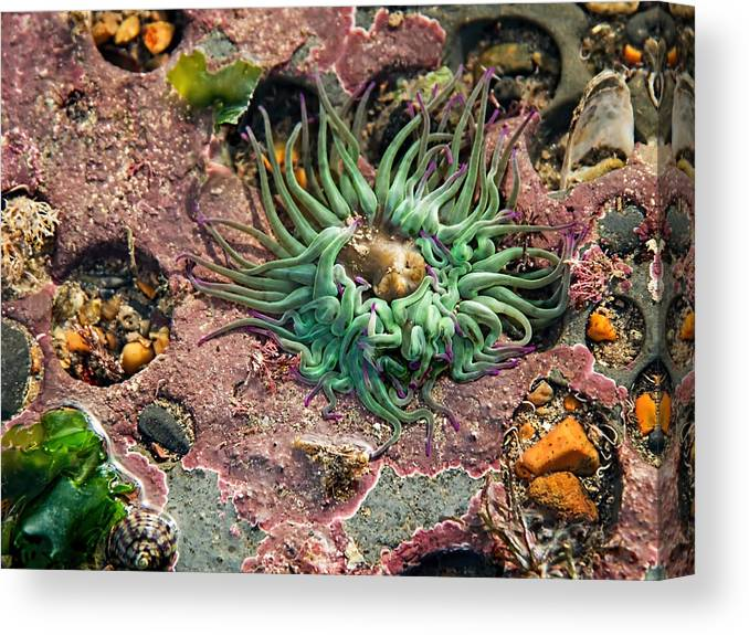 Sea-anemones Canvas Print featuring the photograph Sea Anemones by Susie Peek