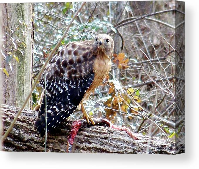 Hawk Canvas Print featuring the photograph 2005-hawk And Snake by Martha Abell