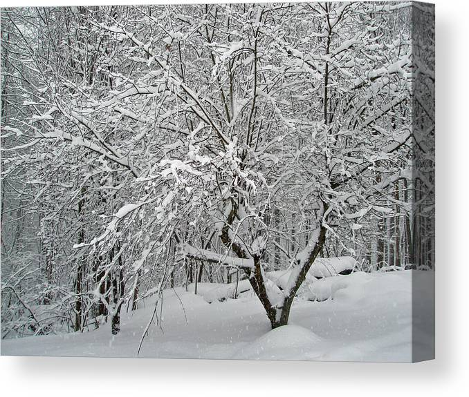 Snow Canvas Print featuring the photograph A Dogwood Sleeps While The Snow Falls by Mother Nature