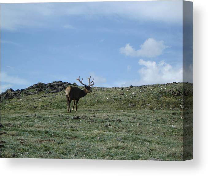 Elk Canvas Print featuring the photograph A Lotta Bull by Kelly Miller