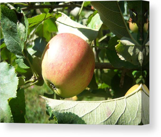 Apple Canvas Print featuring the photograph Apple 101 by Ken Day