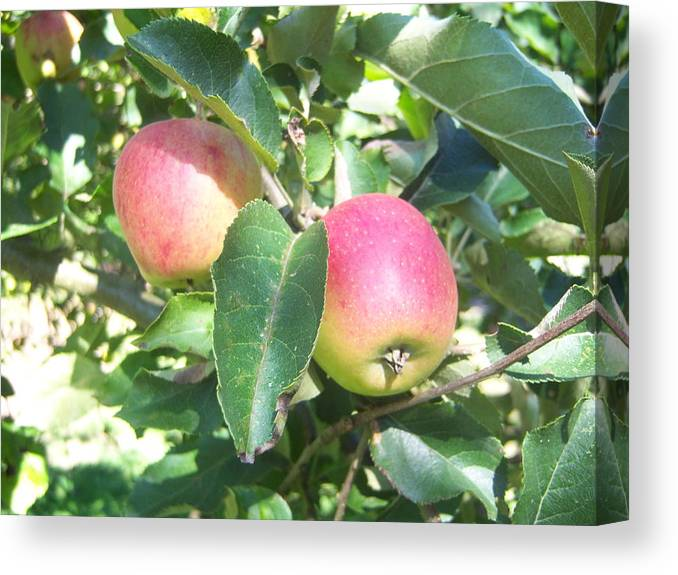 Apple Canvas Print featuring the photograph Apple 102 by Ken Day