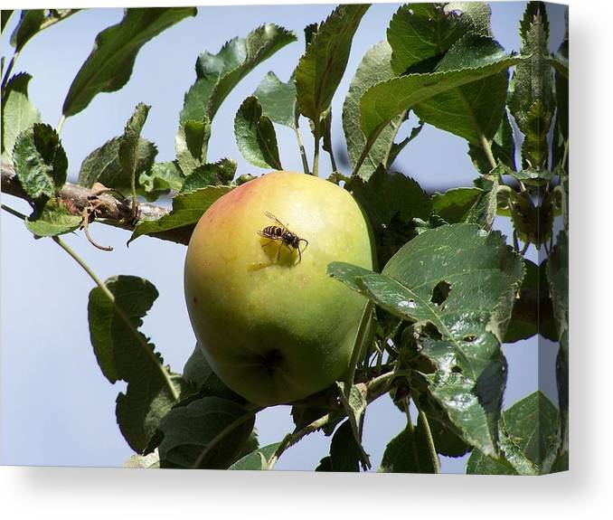 Apple Canvas Print featuring the photograph Apple Bee by Gene Ritchhart