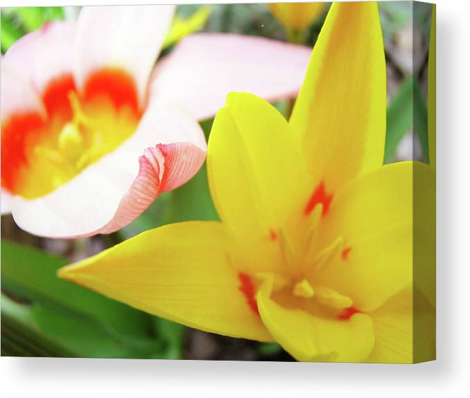 Tulip Canvas Print featuring the photograph Art Prints Pink Tulip Yellow Tulips Giclee Prints Baslee Troutman by Baslee Troutman
