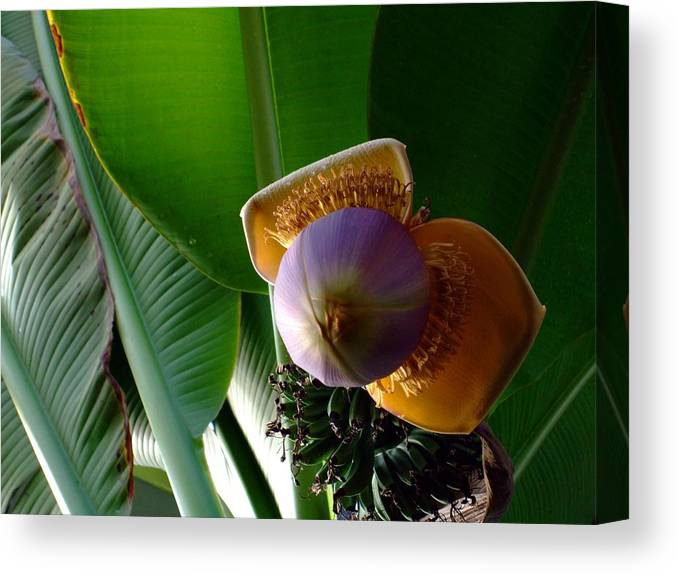Banana Canvas Print featuring the photograph Banana Bloom by Mindy Newman