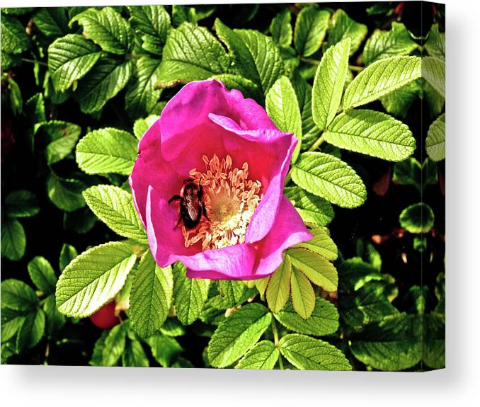 Flower Canvas Print featuring the photograph Bee In Bloom by Rosemary McGahey