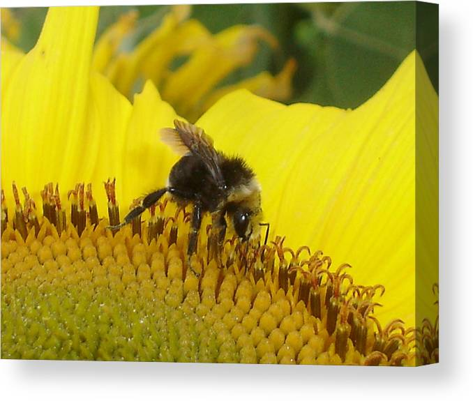 Bee's Canvas Print featuring the photograph Bee On Sunflower 2 by Chandelle Hazen