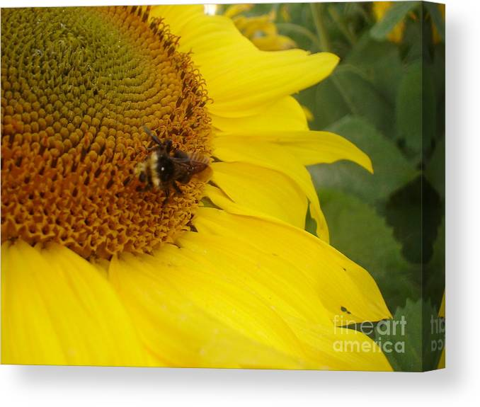 Bee Canvas Print featuring the photograph Bee On Sunflower 3 by Chandelle Hazen