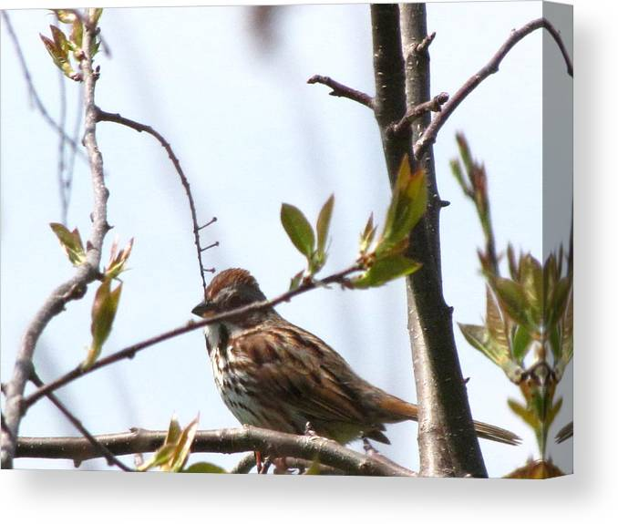 Small Canvas Print featuring the photograph Bird In Spring by Melissa Parks